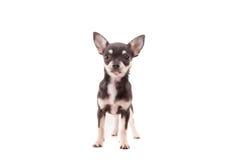 Perrito de la chihuahua Imagen de archivo