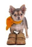 Perrito de la chihuahua con los cargadores del programa inicial y la bufanda Fotos de archivo libres de regalías