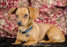 Perrito de la chihuahua del perro basset de Chiweenie Imagenes de archivo