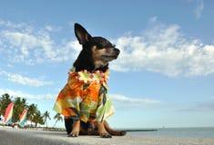 Perrito de la chihuahua en camisa hawaiana fotografía de archivo