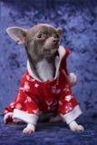 Perrito de la chihuahua en la ropa de Santa Claus fotografía de archivo libre de regalías