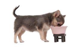 Perrito de la chihuahua que come del tazón de fuente rosado Imagen de archivo