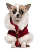 Perrito de la chihuahua que desgasta la capa de Santa Foto de archivo libre de regalías