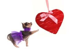 Perrito de la chihuahua que juega con el corazón rojo Imagenes de archivo