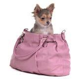 Perrito de la chihuahua que se sienta en el bolso rosado aislado Foto de archivo