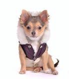 Perrito de la chihuahua que se sienta vestido en capa Imagenes de archivo