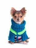 Perrito de la chihuahua vestido con el suéter colorido fotos de archivo