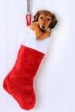Perrito de la media de la Navidad Imágenes de archivo libres de regalías