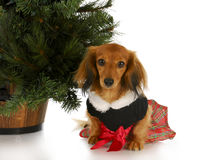 Perrito de la Navidad Fotos de archivo