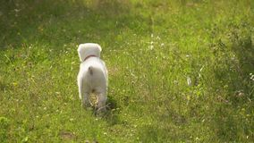 Perrito de la raza de Alabai almacen de metraje de vídeo