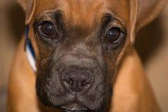 Perrito de la raza del boxeador fotografía de archivo