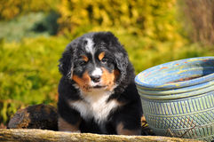 Perrito de la raza del sennenhund de Berner Imágenes de archivo libres de regalías