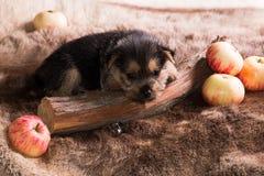 perrito de la raza el terrier australiano 1 fotografía de archivo