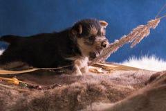 Perrito de la raza el terrier australiano 2 fotografía de archivo