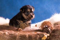 perrito de la raza el terrier australiano 3 foto de archivo libre de regalías