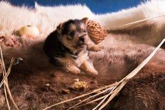 Perrito de la raza el terrier australiano 5 imagen de archivo