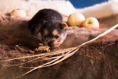 Perrito de la raza el terrier australiano 6 fotos de archivo