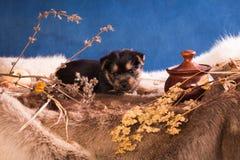Perrito de la raza el terrier australiano 4 fotos de archivo