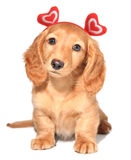 Perrito de la tarjeta del día de San Valentín Imágenes de archivo libres de regalías