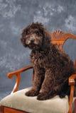 Perrito de Labradoodle Foto de archivo libre de regalías