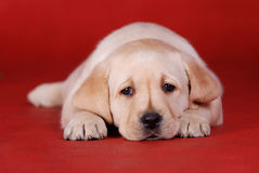 Perrito de Labrador Imagen de archivo