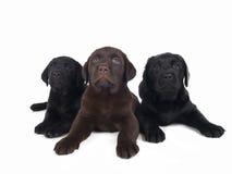 Perrito de Labrador Imágenes de archivo libres de regalías