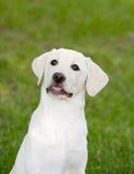 Perrito de Labrador fotografía de archivo libre de regalías