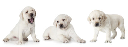 Perrito de Labrador aislado en el fondo blanco fotos de archivo