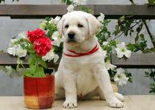 Perrito de Labrador con las flores blancas y rojas Fotografía de archivo libre de regalías
