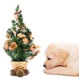 Perrito de Labrador con un pequeño árbol de navidad imágenes de archivo libres de regalías