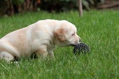 Perrito de Labrador con una bola Fotos de archivo libres de regalías