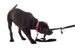 Perrito de Labrador del chocolate Imagen de archivo libre de regalías