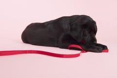Perrito de Labrador del chocolate en fondo rosado Imágenes de archivo libres de regalías