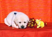 Perrito de Labrador en el fondo anaranjado Imagen de archivo libre de regalías