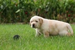 Perrito de Labrador en la hierba con una bola Fotos de archivo