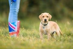 Perrito de Labrador en un paseo con el dueño en un campo Imágenes de archivo libres de regalías
