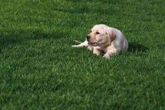 Perrito de Labrador (perro perdiguero) foto de archivo