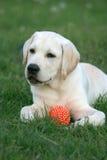 Perrito de Labrador que juega con una bola Imagen de archivo libre de regalías
