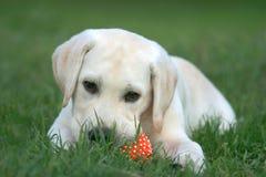 Perrito de Labrador que juega con una bola Fotografía de archivo libre de regalías