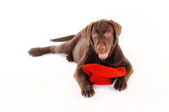 Perrito de Labrador que miente con un sombrero rojo en un fondo blanco Imágenes de archivo libres de regalías