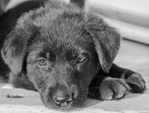 Perrito de Labrador que se acuesta y que mira la cámara Fotografía de archivo libre de regalías