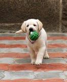 Perrito de Labrador que se ejecuta con una bola Foto de archivo