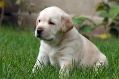 Perrito de Labrador que se sienta en la hierba Fotos de archivo