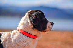 Perrito de Landseer Foto de archivo