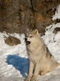 Perrito de lobo joven que muestra sus dientes Fotos de archivo libres de regalías