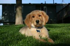 Perrito de oro de Retreiver Foto de archivo libre de regalías