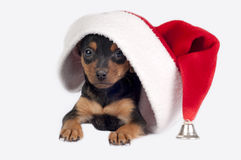 Perrito de Pincher con el sombrero de Santa. Fotos de archivo