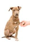 Perrito de Pitbull con la pata en la mano Foto de archivo