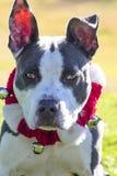 Perrito de Pitty con las campanas Fotografía de archivo libre de regalías