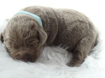 Perrito de plata del labrador retriever fotografía de archivo
